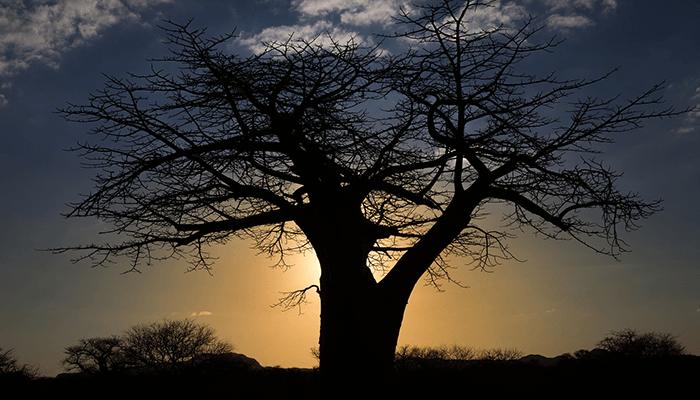 アフリカのバオバブ