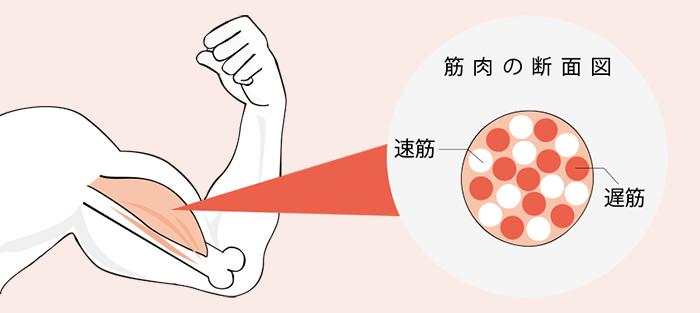 筋肉は速筋と遅筋に分かれている