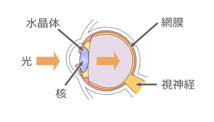 眼球の断面図イラスト