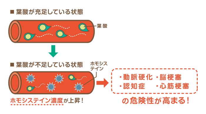 葉酸不足がホモシステイン濃度を上げる