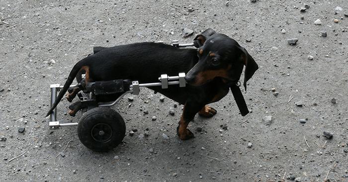 車いすを使う犬